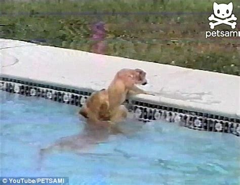 golden retriever saves owner here buoy the moment golden retriever saves puppy from drowning daily