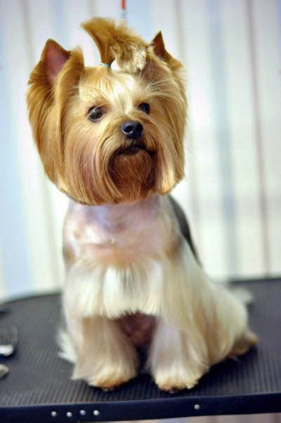 top 105 latest yorkie haircuts pictures yorkshire teacup yorkies haircuts haircuts models ideas
