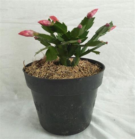 Tanaman Cactus tanaman orange cactus bibitbunga