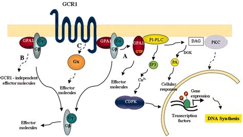 g protein coupled receptors c the g protein coupled receptor gcr1 regulates dna