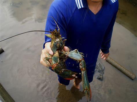 Pembenihan Lobster Air Tawar peluang emas pembenihan lobster air tawar tertarik coba jitunews