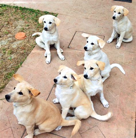 canaan dog choose your puppy