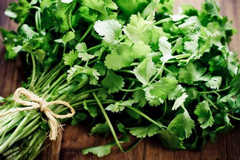 cilantro   grow    popular herb