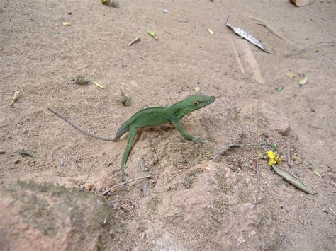 lizard out of lizards falling out of the trees in the rainforest anole