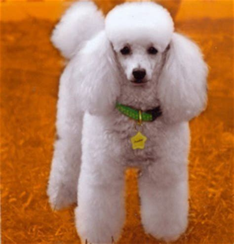 adoption florida pin standard poodle show cut coloring page on