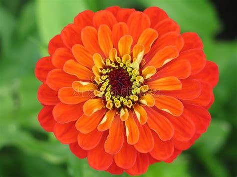di fiore fotografo fiore di zinnia fotografia stock immagine di fiore flora