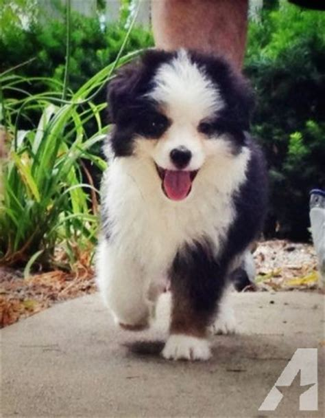 australian shepherd puppies for sale in indiana asdr teacup australian shepherd puppies for sale in cicero indiana classified