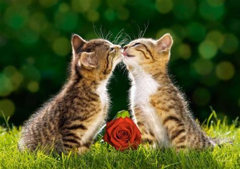 cat kiss wallpaper cat kiss cats animals background wallpapers on desktop
