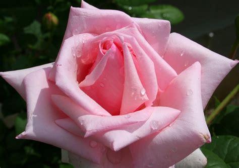 wallpaper bunga rose pink download gratis wallpapers bunga mawar gembala intelektual