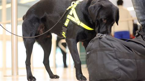 sniffer dogs airport sniffer dogs fail to detect drugs but found cheese and sausages itv news