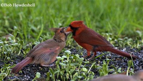 tennessee watchable wildlife northern cardinal habitat 1