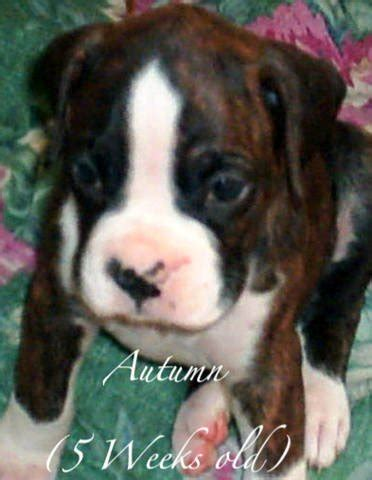 free boxer puppies in michigan akc boxer puppies for sale adoption from three rivers michigan kalamazoo adpost