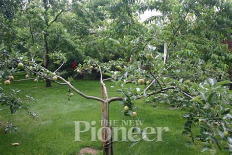 backyard apple orchard graft and grow a backyard orchard