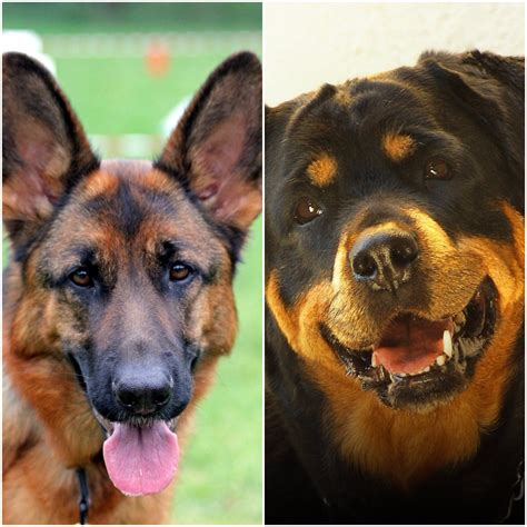 rottweiler vs german shepherd real fight german shepherd vs rottweiler real fight pictures to pin on pinsdaddy