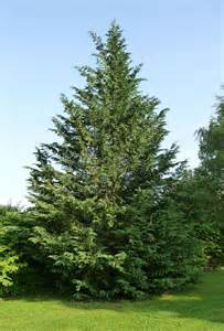 trimming leyland cypress trees how and when to prune