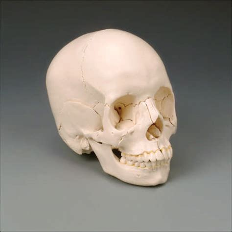 what color is bone bone color skull kit skeletons and more