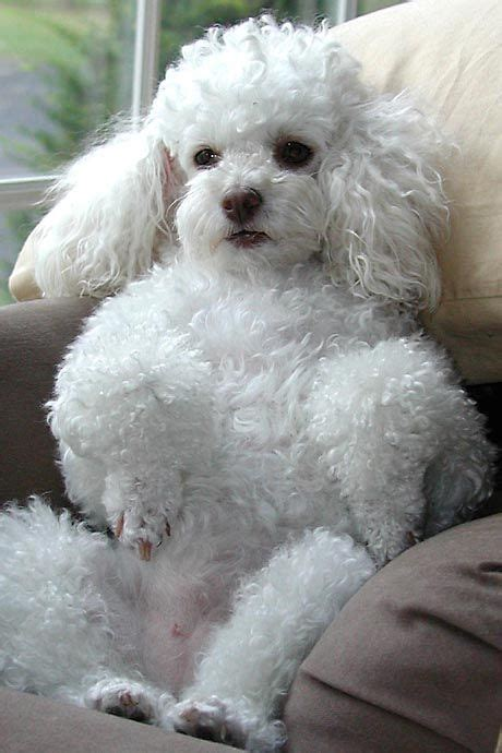 miniature french poodle hairstyles miniature poodle haircuts oodles of poodles pinterest