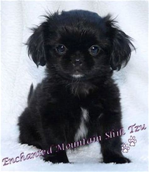 stenotic nares shih tzu 188 best ideas about shih tzu on stains shih tzu rescue and pets