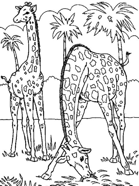 giraffe eating coloring pages free coloring pages of grass