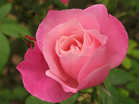 blooming flower rose bud pink bloom flower bud rose