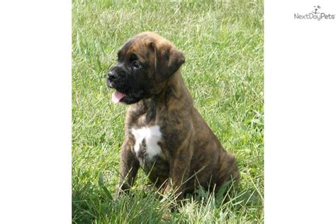 brindle boxer puppies for sale near me beautiful boxer puppies for sale dogs puppies for sale with breeds picture