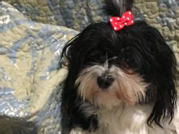 havanese puppies orlando havanese dogs and puppies for sale in the uk pets4homes