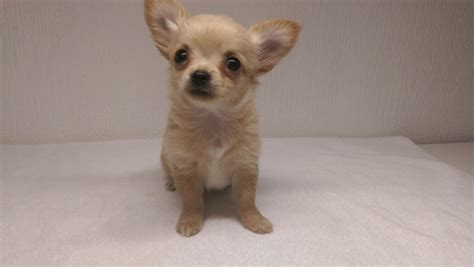 chihuahua puppies houston black haired chihuahua for sale dogs puppies for sale with auto design tech