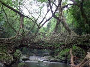 What Is Root Bridge living root bridge in mawlynnong ghumakkar inspiring travel