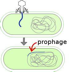 define zygotic induction prophage