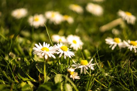 image for flowers free stock photo of daisies flora floral