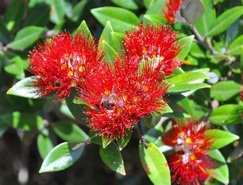 flower wallpaper nz fiori di pohutukawa foglie albero di natale della
