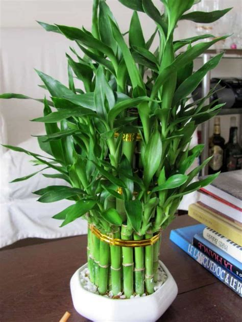 house decor bamboo indoor plant caring tips  bamboo
