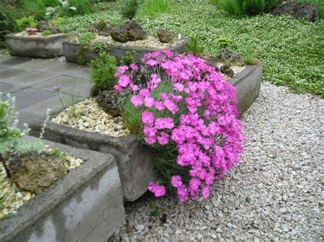 rock gartengestaltung steingartenpflanzen unsere 6 favoriten machen die
