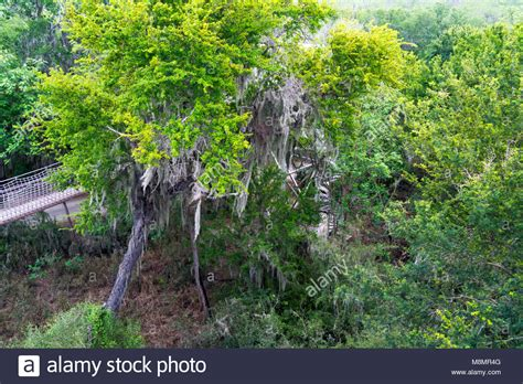 260515 in the forest hangs a spanish moss hangs from a texas ebony tree in the riparian