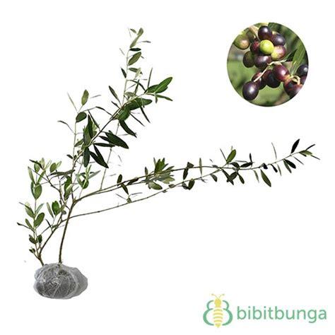 tanaman buah zaitun