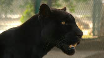Domesticated Jaguar Lions Tigers Become Problem Pets In The Gulf Cnn