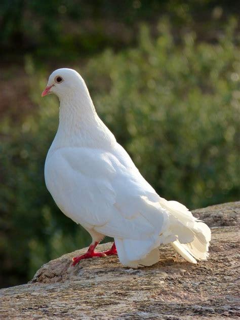 imagenes de palomas blancas gratis foto gratis paloma blanca paz paloma imagen gratis en