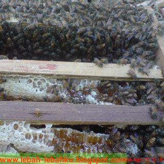 Bibit Lebah Madu cara backup koloni lebah yang lemah ternak klanceng lebah madu di jawa tengah