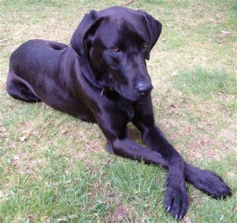 black lab great dane mix puppy great dane lab mix size breeds picture