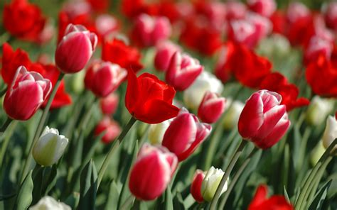 wallpaper with flowers flowers wallpapers red tulips flowers wallpapers