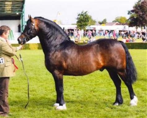 welsh section d stud llanarth stud breeding welsh cobs with world famous
