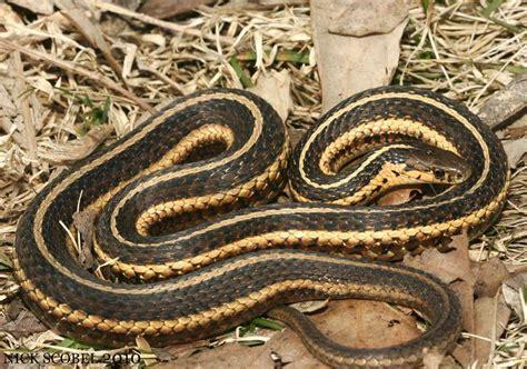 Garter Snake Michigan Butler S Garter Snake Herpetological Resource And