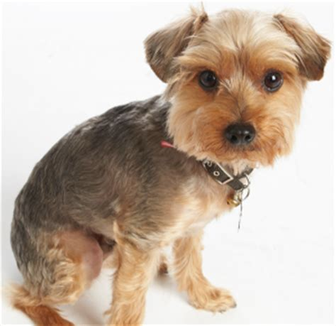 how to give a yorkie a puppy cut yorkie with a schnauzer hair cut search results hairstyle galleries