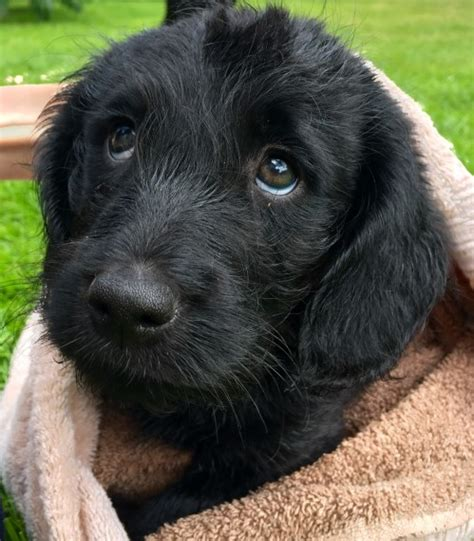 mini doodles hereford miniature labradoodle ready now hereford