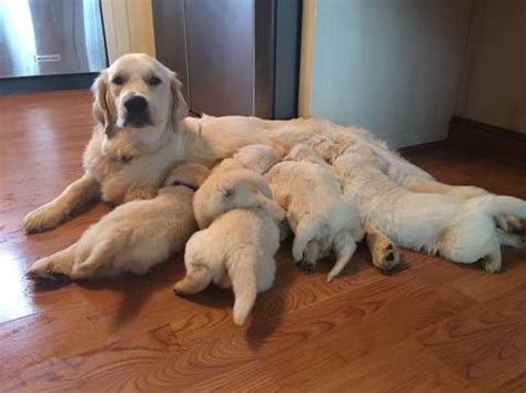 golden retriever for sale nc view ad golden retriever puppy for sale carolina shelby