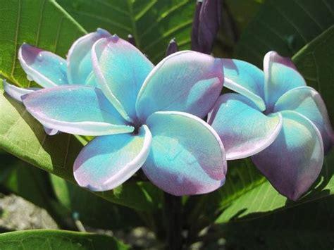 plumeria colors best 25 plumeria flowers ideas on colorful