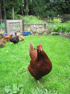 Best Backyard Chicken Breeds Rhode Island On Chicken Breeds Buff Orpington And Ba