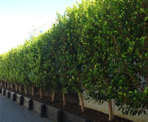 ficus tuffi hedge specimen tree co nz gardens plants flowers trees pinterest chain