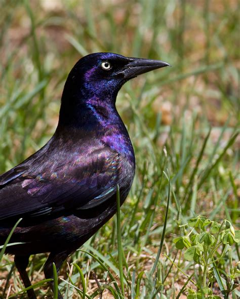 bill hubick photography common grackle quiscalus