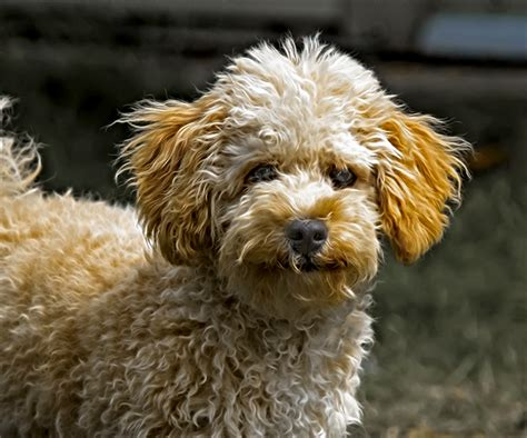 doodle doodle breed goldendoodle breed information pictures